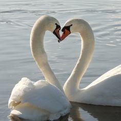 f4cd235e850132242b36776e5578a115--swan-love-mute-swan